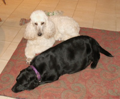 Robin with Poodle friend Hannah(who gave her great advice!)