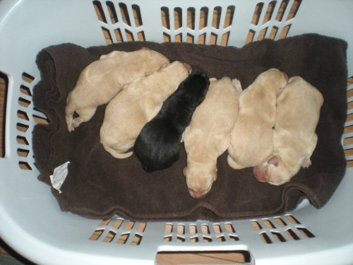 5 Yellow Males and 1 Black Female