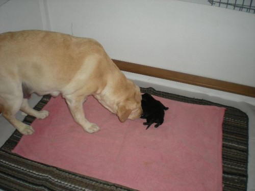 Next morning, checking to makes sure puppies are clean