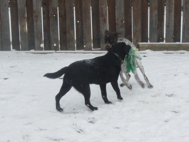 'Lola' and friend 'Dusty' tearing up the backyard
