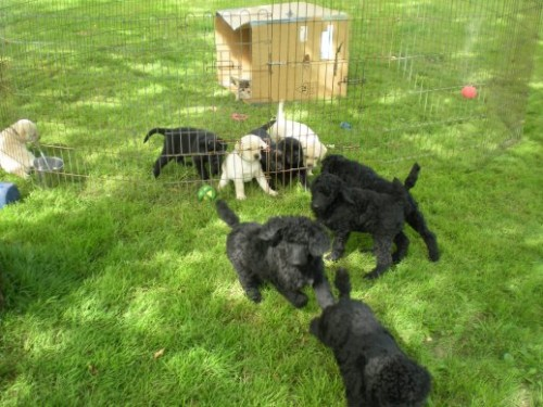 Poodle puppies teasing the Lab puppies!