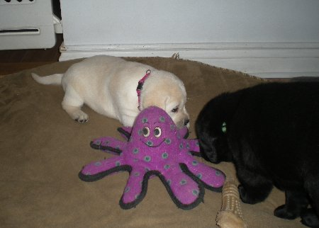 Great toy, all puppies love this!