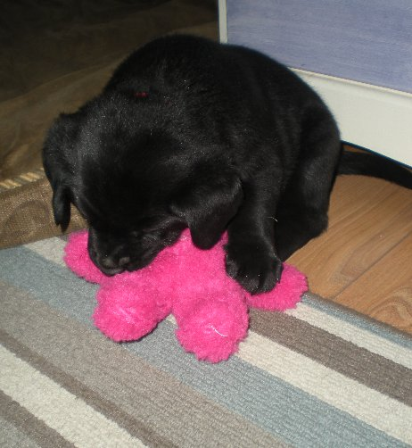 Puppies are certainly bigger than the teddy  now!
