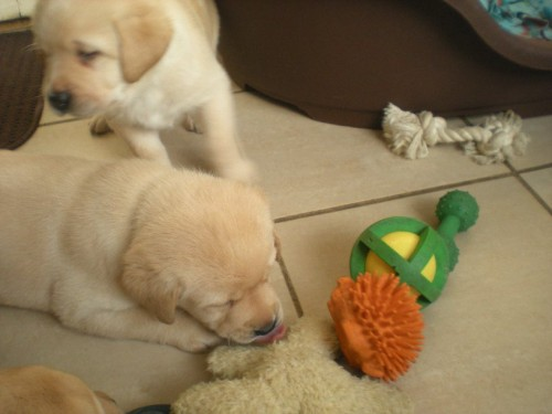Too many toys, tired puppy