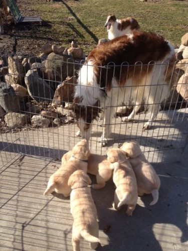 All the puppies like the big hairy guy!
