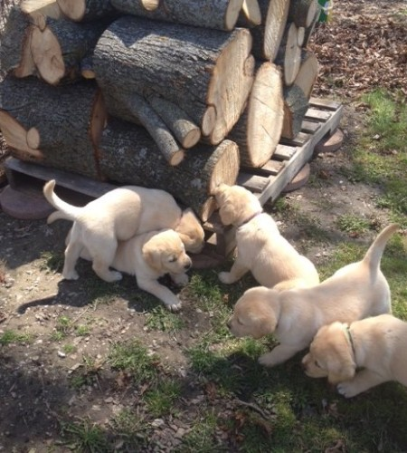 Part Beaver/Part Dog Chewing wood is very natural to Labradors, lol