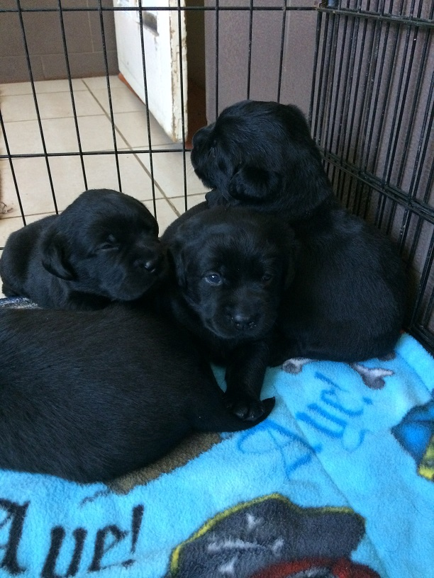 Pile of black puppies