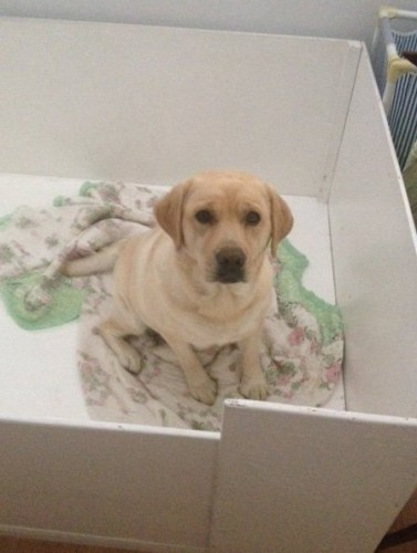 Pippa waiting in her whelping box for puppies